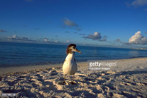 Young Laysan Albatross Diomedea immutabilis Resting on Ground on the Midway Atoll Here is the worlds largest breeding colony of Laysan and the...