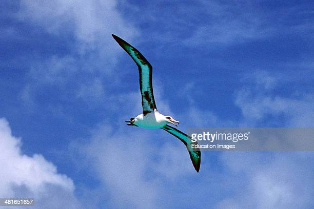 Young Laysan albatross Diomedea immutabilis Worldwide there are 14 species of albatrosses of which only three occur on the Midway Atoll Here is the...