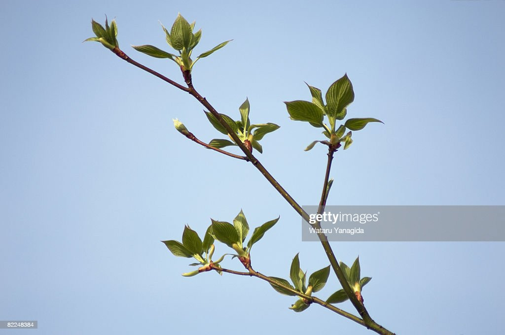 Young leaves against blue sky : Stock Photo