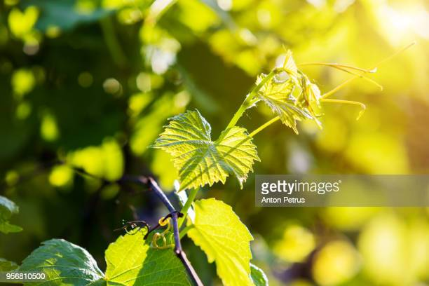 young leaves of grapes in sunlight - rankenpflanze stock-fotos und bilder