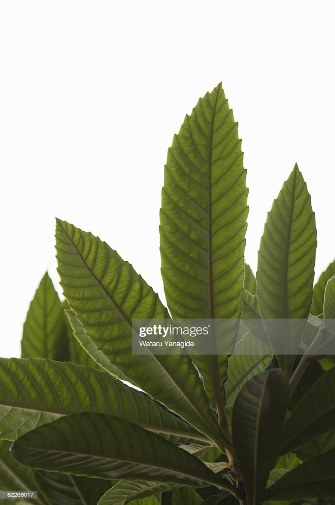 Young leaves of loquat : Stock Photo