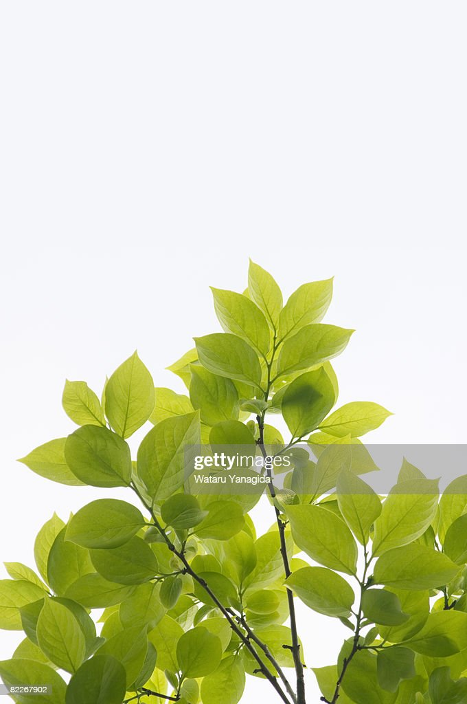 Young leaves of persimmon tree : Stock Photo