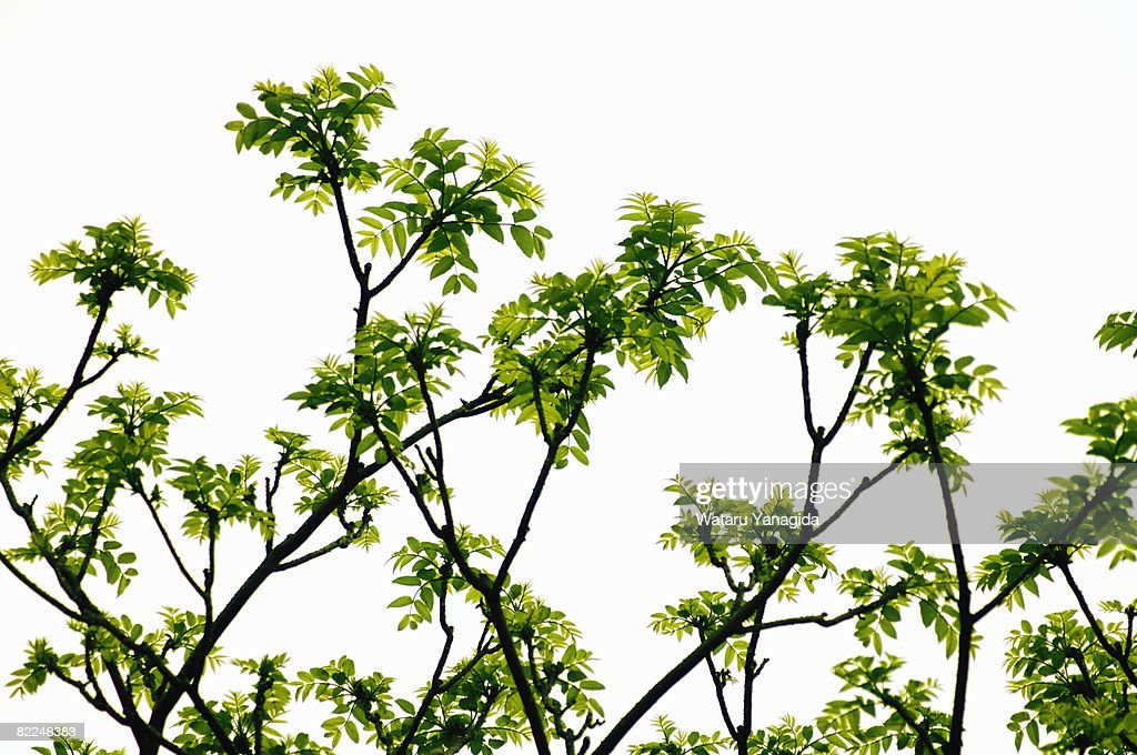 Young leaves of sumac : Stock Photo