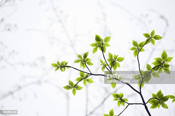 Young leaves on branch