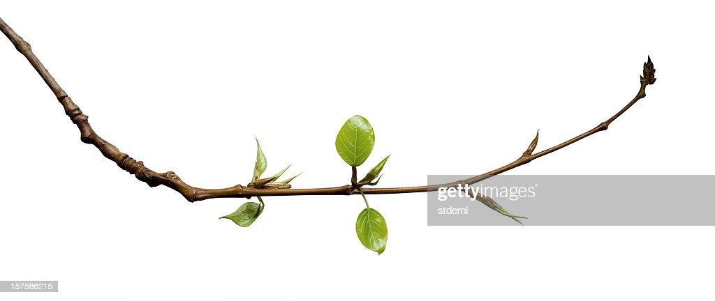Young Leaves : Stock Photo