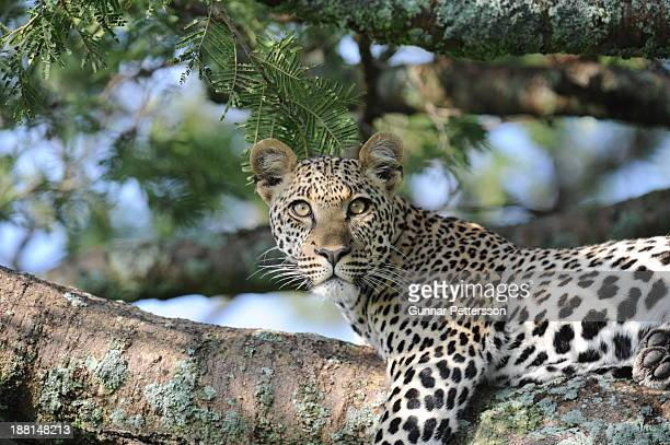 Young Leopard at Seronera, Serengeti.