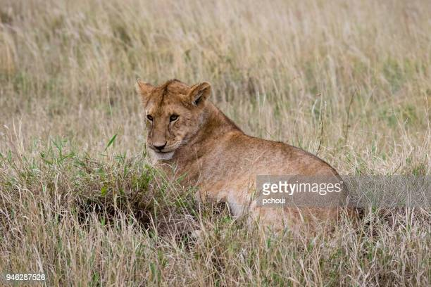Young lion, Africa