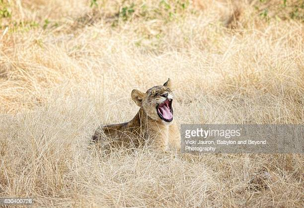 young lion cub roar in tarangire, tanzania - lion roar stock pictures, royalty-free photos & images