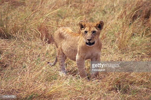 A Young Lion in the Grassy Plain, High Angle View