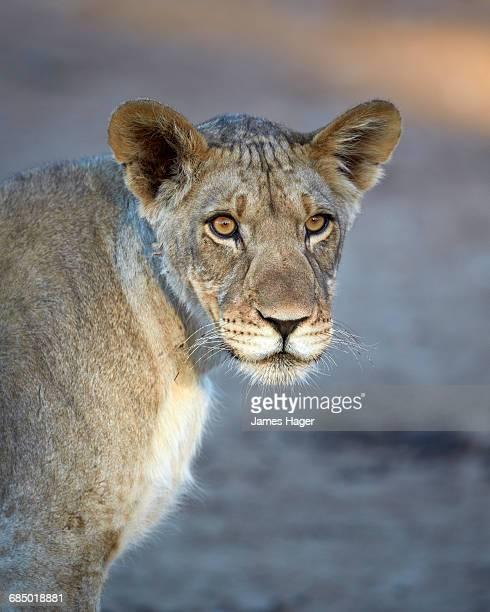 Young lion (Panthera leo), Kgalagadi Transfrontier Park, encompassing the former Kalahari Gemsbok National Park, South Africa, Africa