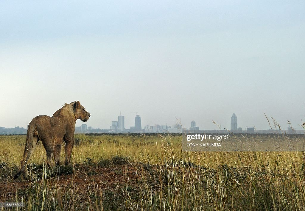 KENYA-CONSERVATION-WILDLIFE-LION : News Photo