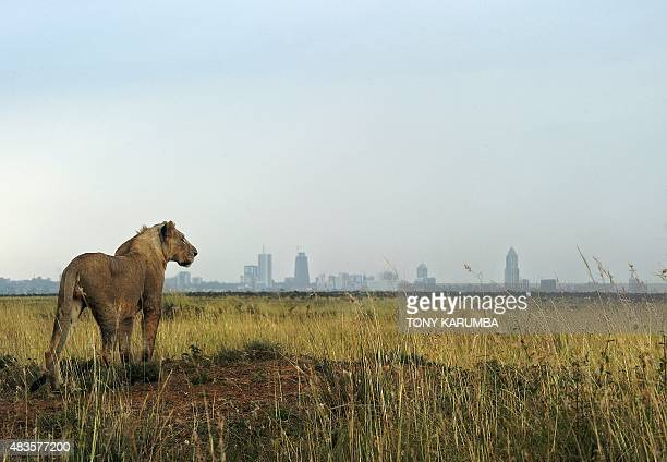 A young lion looks towards the Nairobi skyline at the Nairobi national park on August 10 2015 With all the attention on the cruel slaughter of Cecil...
