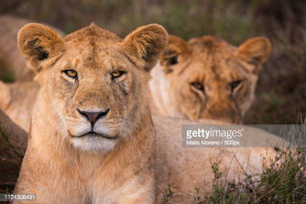a young lion - ngorongoro conservation area stock pictures, royalty-free photos & images