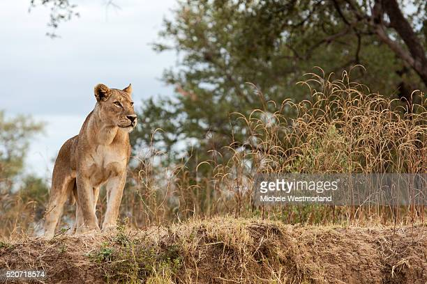 young lion (panthera leo) - south luangwa national park stock pictures, royalty-free photos & images