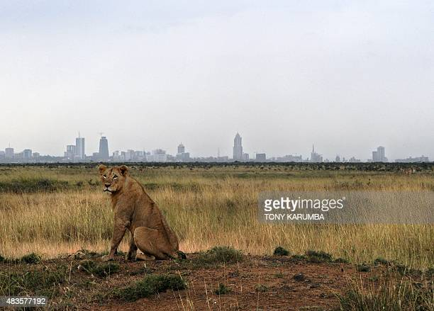 A young lion rests on its haunches juxtaposed against the Nairobi skyline at the Nairobi national park on August 10 2015 With all the attention on...