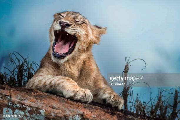 Young lion yawning. Tsavo National Park. Kenya. Africa.
