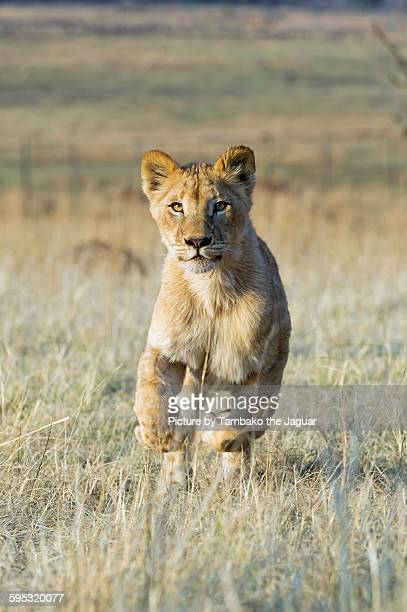 Young lioness running in the dry grass