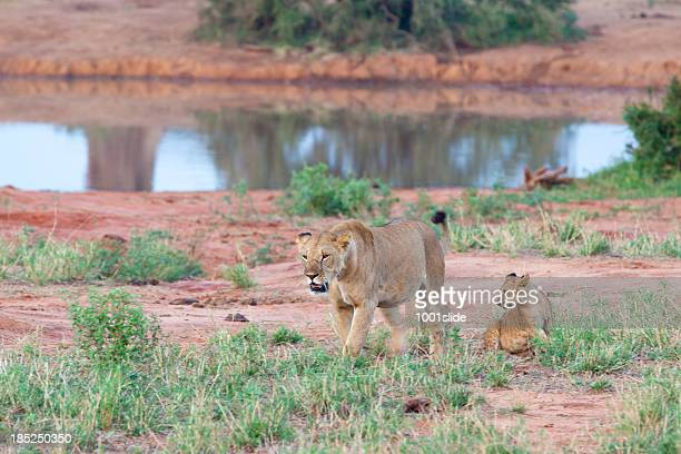 Young Lioness walking in morning sun with cub