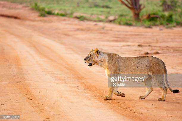 Young Lioness walking in morning sun with flies