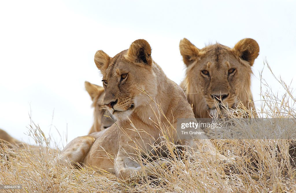 Young Lionesses,Serengeti, East Africa : News Photo