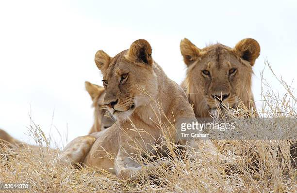 Young lionessesSerengeti East Africa