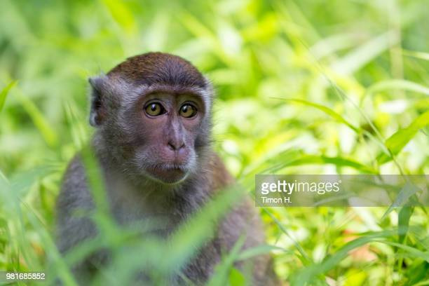 young long-tailed macaque sitting in the gras - gras foto e immagini stock