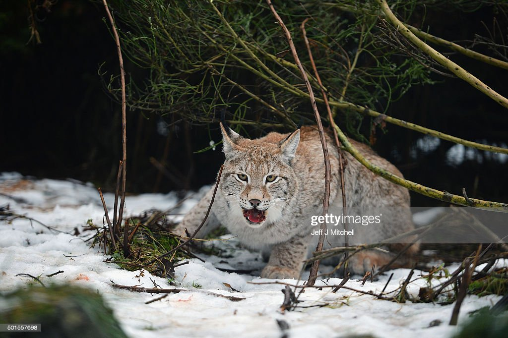 A young Lynx cub is fed in the enclosure at the Highland Wildlife Park on December 16, 2015 in Kincraig,Scotland. Concerns have been raised by Scottish landowners in over proposals to reintroduce Lynx back into the ecosystem in the wilds of Scotland. The Lynx UK Trust has been asking Scottish Land and Estates groups, their views on bringing the wild cat back into trial sites in Aberdeenshire, Argyll, and the Borders.