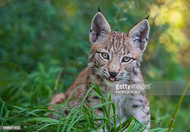 A young lynx is pictured at its enclosure of the Schorfheide wildlife park in Gross Schoenebeck northeastern Germany on September 1 2016 / AFP / dpa...