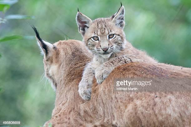 Young lynx -Lynx lynx- lying on the back of its mother, Tierpark Sababurg, Hofgeismar, Hesse, Germany