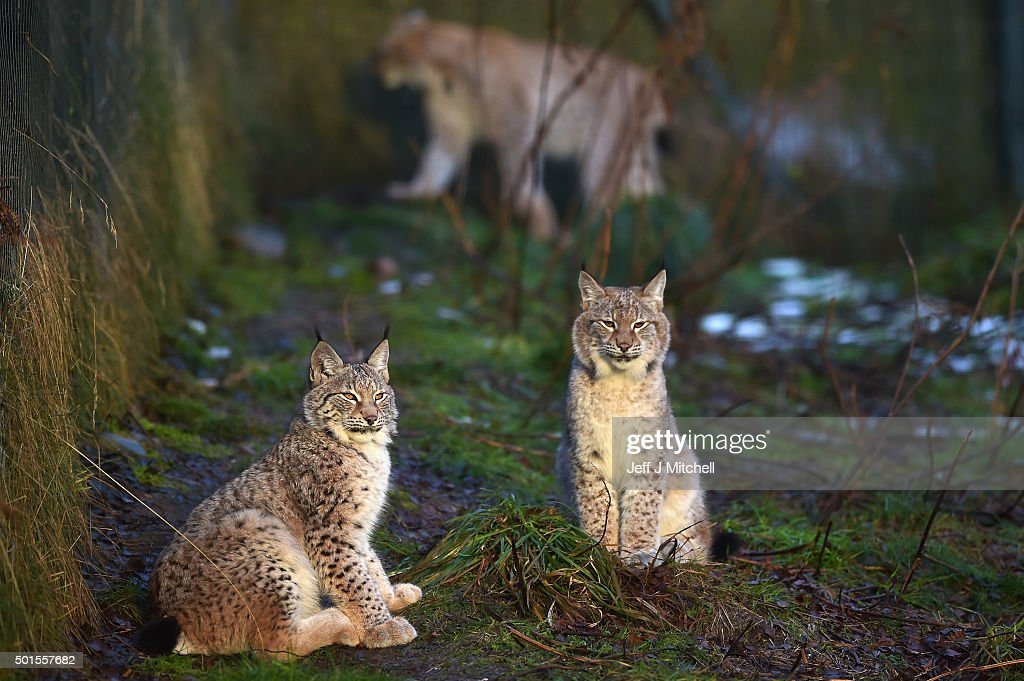 Young Lynx sit in their enclosure at the Highland Wildlife Park on December 16, 2015 in Kincraig,Scotland. Concerns have been raised by Scottish landowners in over proposals to reintroduce Lynx back into the ecosystem in the wilds of Scotland. The Lynx UK Trust has been asking Scottish Land and Estates groups, their views on bringing the wild cat back into trial sites in Aberdeenshire, Argyll, and the Borders.