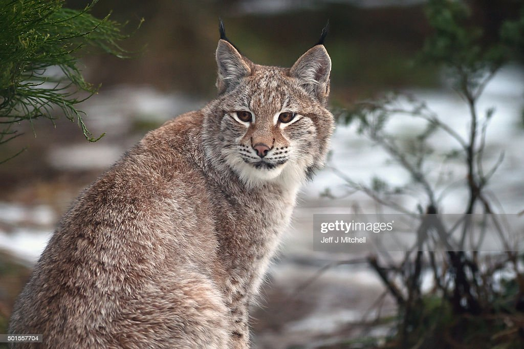 A young Lynx waits to be fed in their enclosure at the Highland Wildlife Park on December 16, 2015 in Kincraig,Scotland. Concerns have been raised by Scottish landowners in over proposals to reintroduce Lynx back into the ecosystem in the wilds of Scotland. The Lynx UK Trust has been asking Scottish Land and Estates groups, their views on bringing the wild cat back into trial sites in Aberdeenshire, Argyll, and the Borders.