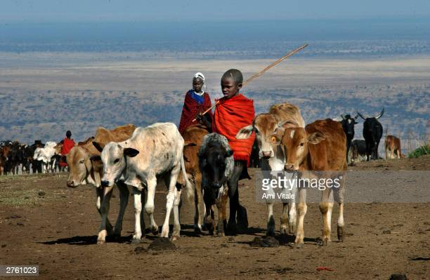 A young Maasai pastoralist grazes his cattle September 30 2003 outside the Ngornogoro Crater in Tanzania Once these nomadic herders could travel to...