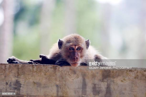 a young macaque contemplating - animal finger stock photos and pictures