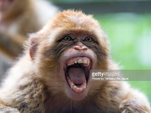 young macaque with big open mouth - one animal stock pictures, royalty-free photos & images