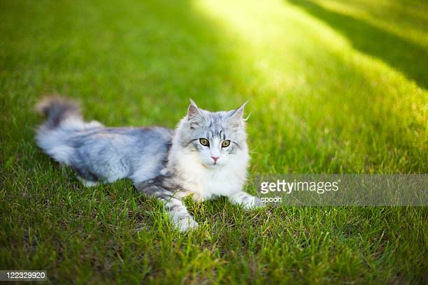 Young Maine Coon cat lurking in grass
