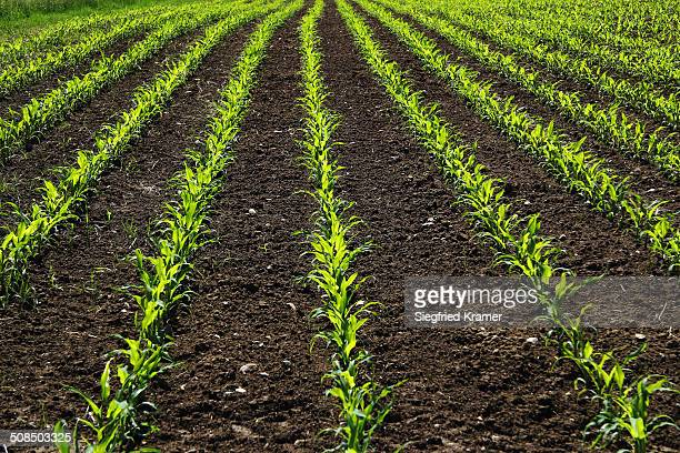 Young maize plants on a field, cultivation for biogas, Upper Swabia, Baden-Wuerttemberg, Germany, Europe