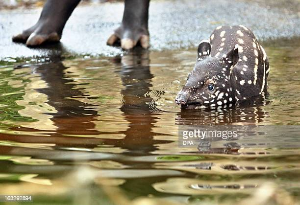 A young Malayan tapir takes a bath in a pool of his enclosure at the 'Gondwanaland' of the zoo in Leipzig eastern Germany on March 7 2013 The male...