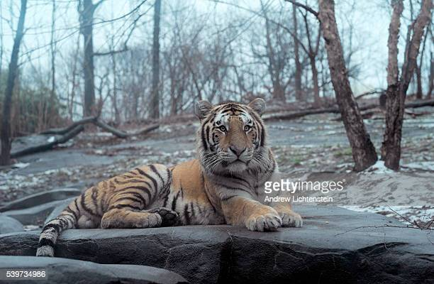 A young male Amur or Siberian tiger sits in his enclosure The winter is a special time to visit the Bronx Zoo Many of the animals are more active and...