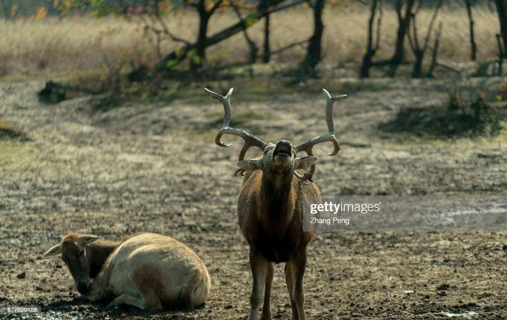 A Young Male Deer With Strong Antlers Who Is The New King Deer Is
