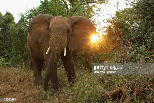 A young male elephant acts defensively at the Pafuri game reserve on July 21 2010 in Kruger National Park South Africa Kruger National Park is one of...