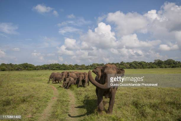 young male elephant at kaudulla national park - image stock pictures, royalty-free photos & images