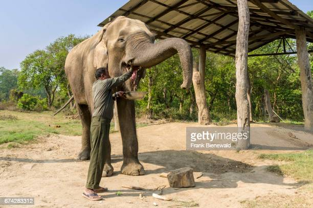 Young male elephant is getting food in the Elephant Breeding Centre in Chitwan National Park.