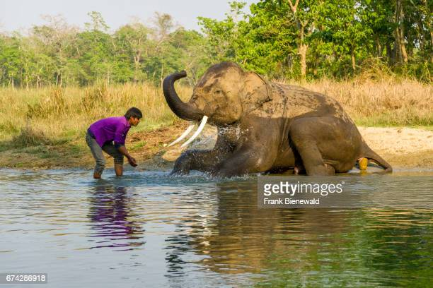 A young male elephant with big molar teeth is getting washed by his mahout in the Rapti River in Chitwan National Park