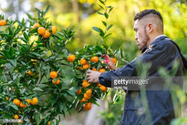 若い雄農家は、木から熟したオレンジを収穫 - 果樹 ストックフォトと画像