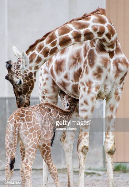 A young male giraffe cuddles with his mother Kabonga at the zoo Hellabrunn in Munich Germany 22 April 2013 The sixweekold giraffe was given the...