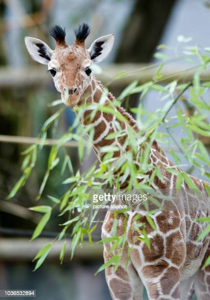 A young male giraffe is pictured at the zoo Hellabrunn in Munich Germany 22 April 2013 The sixweekold giraffe was given the African name 'Naledi'...