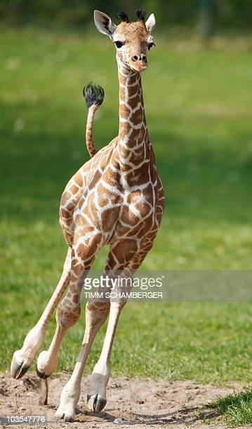 A young male giraffe named Carlo takes his first run around their outdoor enclosure with his parents at the zoo in the southern German city of...