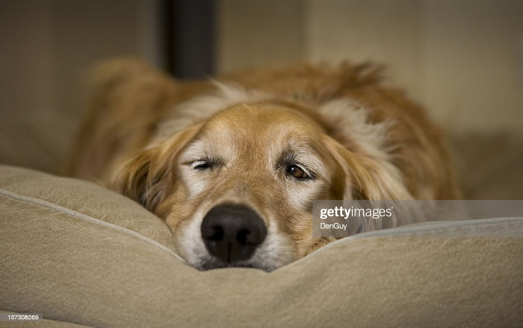 Young Male Golden Retriever Waking From A Nap : Stock Photo