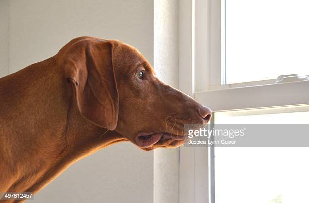 A young male Hungarian vizsla looking out a window