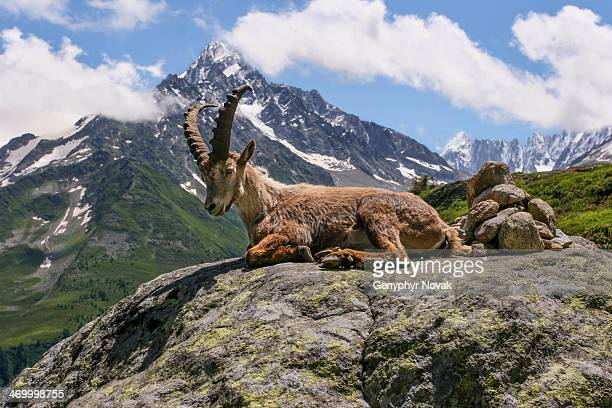 Young male Ibex - Bouquetin